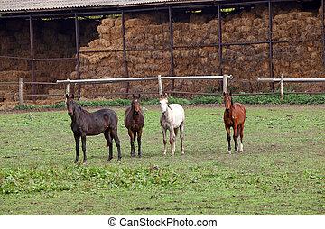 cuatro, caballos, en, granja