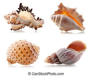 cuatro, conchas de mar
