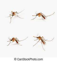 cuatro, mosquitos