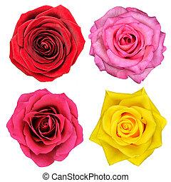 cuatro, rosa, flores, aislado, blanco