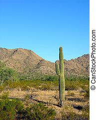 cuatro, saguaro