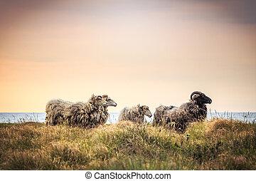 cuatro, sheeps, posición, en, el, pasto o césped