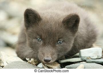 Cub arctic fox - Portret Wild arctic fox cub