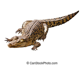 Cub crocodile isolated on white background