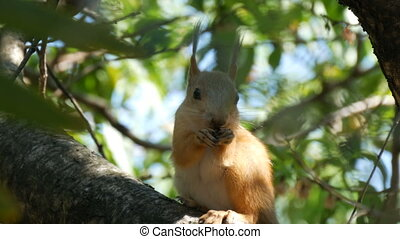 Cub of a small red squirrel hides in branches and eats a nut...