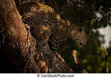 Cub stands behind leopard lying in tree