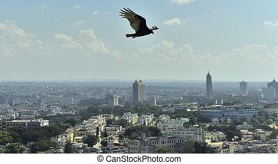cuba., havanna, lafresnaye), soars, felett, amerikai, (cathartidae, keselyű