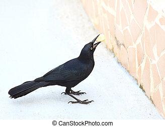 cubaanse , nasicus), kraai, (corvus