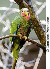 cubaine, amazone, perroquet