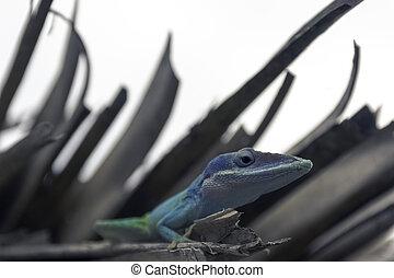Cuban male lizard Allison's Anole (Anolis allisoni), also...