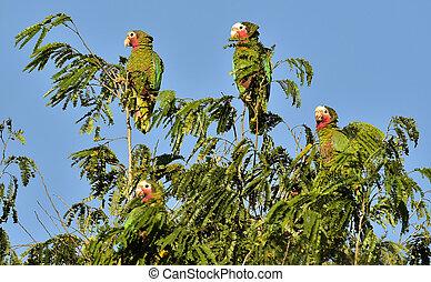Cuban Parrot (Amazona leucocephala leucocephala), Cuban Parrot Amazona leucocephala adult perched in tree, Republic of Cuba in March.