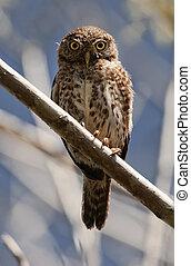 Cuban Pygmy-owl. Glaucidium siju - Cuban Pygmy-owl ...