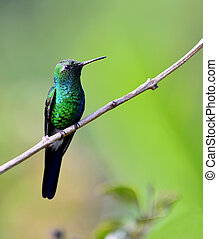 cubano, esmeralda, colibrí, (chlorostilbon, ricordii)