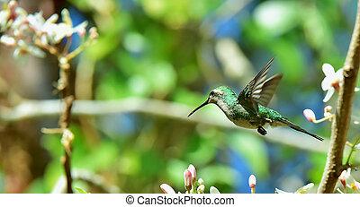 cubano, vuelo, (chlorostilbon, esmeralda, ricordii), colibrí