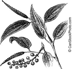 Cubeb or Tailed Pepper or Java Pepper or Piper cubeba, vintage engraving. Old engraved illustration of a Cubeb plant showing berries.