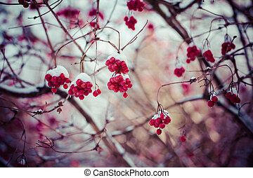 cubierto, bayas, invierno, rojo, nieve