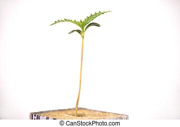cubo, broto, folhas, isolado, dois, cannabis, crescendo,...