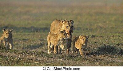 cubs., nach, löwin, jagen