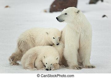 cubs., polar, she-bear