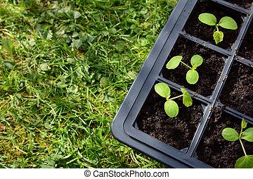 cucamelon, 秧苗, 生長, 在, a, 種子, 托盤