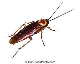 cucaracha, aislado, rojo