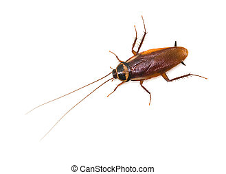 cucaracha, blanco, aislado, plano de fondo