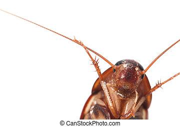 cucaracha, blanco, fondo., macro