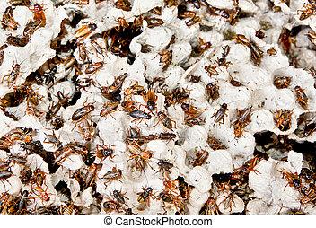 cucarachas, marrón, su, habitat, centenares