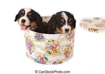 cuccioli, in, scatola cappello