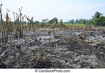 cuchillada, y, quemadura, cultivo