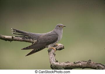Cuckoo, Cuculus canorus, single bird on branch, Hungary