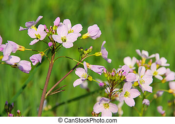 Cuckoo Flower 07