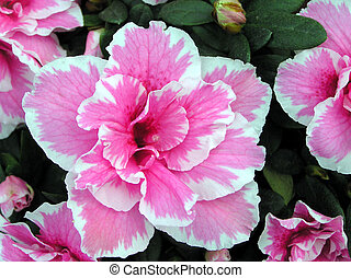 closeup of beautiful Cuckoo flowers