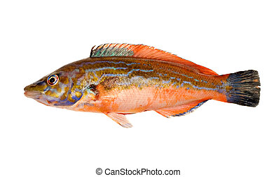 Freshly Caught Male Cuckoo Wrasse (Labrus mixtus) Isolated on White Background
