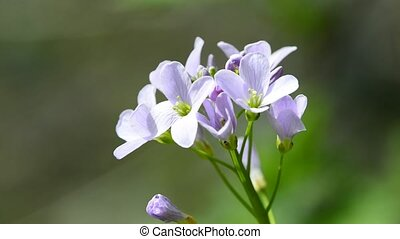 cuckooflower, closeup of the flower
