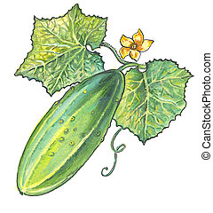 Cucumber fruits with green leaves and a yellow flower