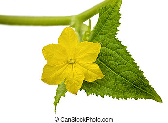 Cucumber flower with leaf isolated