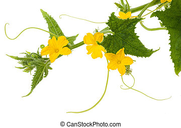 Cucumber flowers and leaves isolated on white