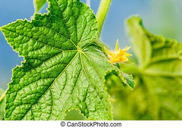 Cucumber leaf with flower