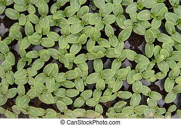 cucumber leafs detail