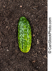 cucumber on the ground - fresh green cucumber on the soil...
