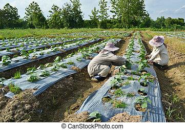 cucumber plant in farm of thailand