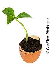 Cucumber seedlings in egg shells
