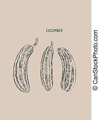 cucumber , sketch vector.