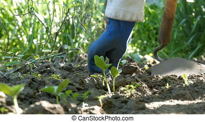 Cucumber sprouts in the ground, the woman weeds the ground...