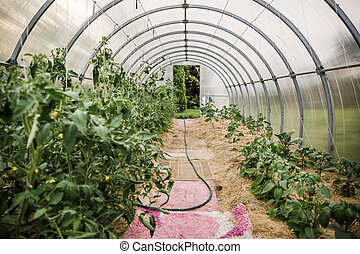 Cucumbers and tomatoes grow in a farm greenhouse