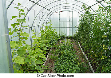 Cucumbers and tomatoes grow in the modern solar arc polycarbonate greenhouse