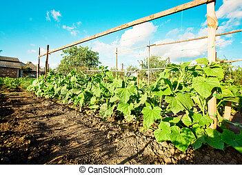 cucumbers - cucumber sprouts in a field, blue sky