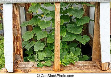 Cucumbers in the garden