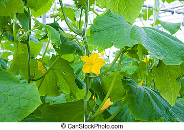 Cucumbers ripening in greenhouse - Cucumbers ripening on...